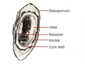 gambar endospora